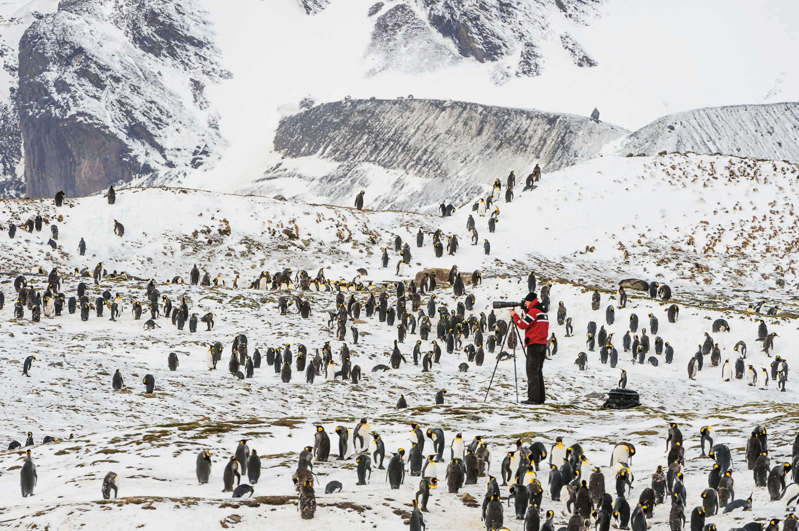 Photographer taking pictures of King Penguins, St. Andrews Bay, South Georgia Island, Antarctica