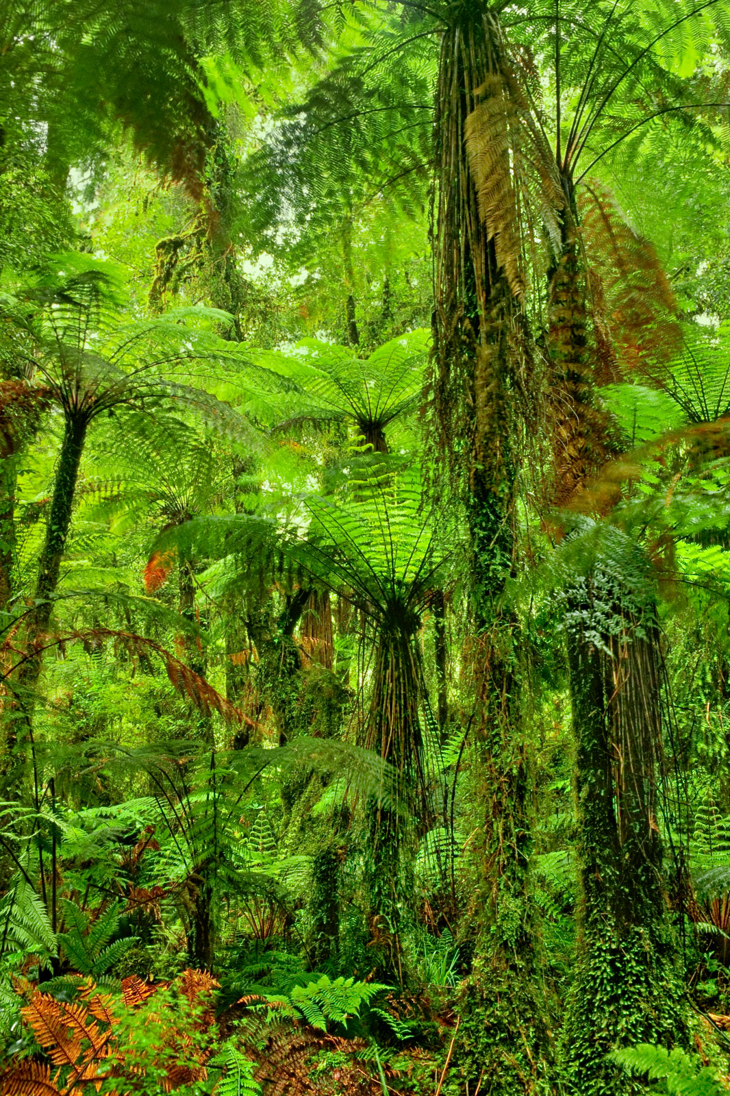 Tree ferns in forest, Whirinaki Conservation Park, New Zealand