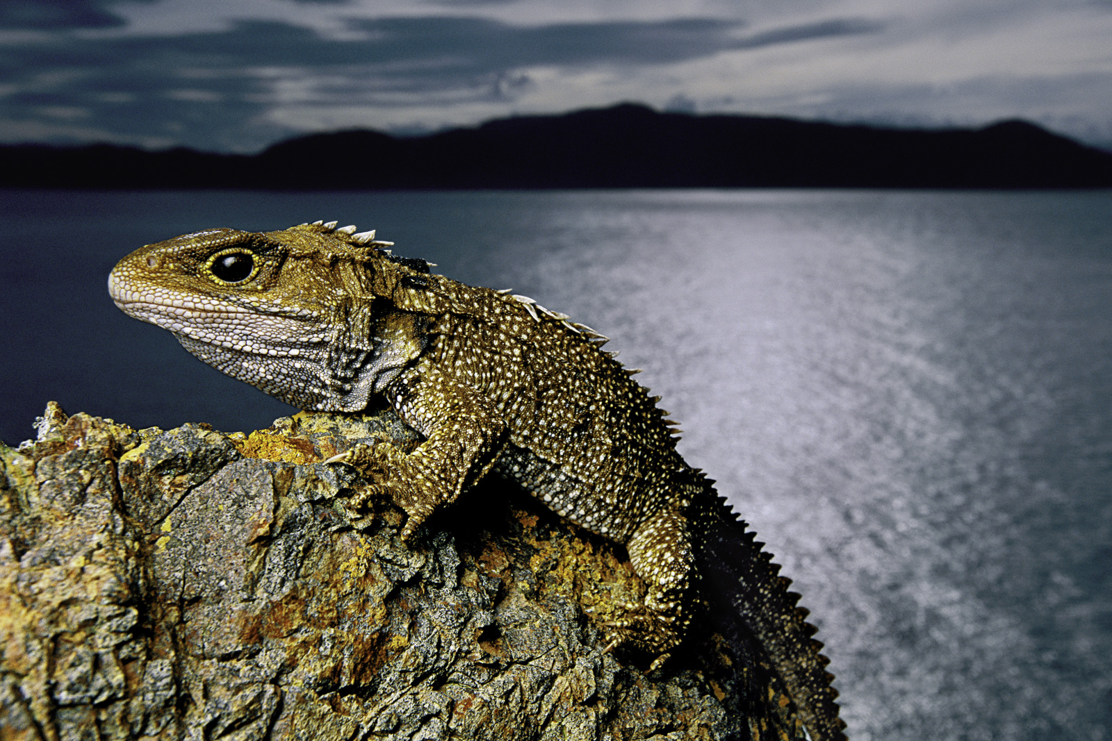 Tuatara, North Brother Island, New Zealand