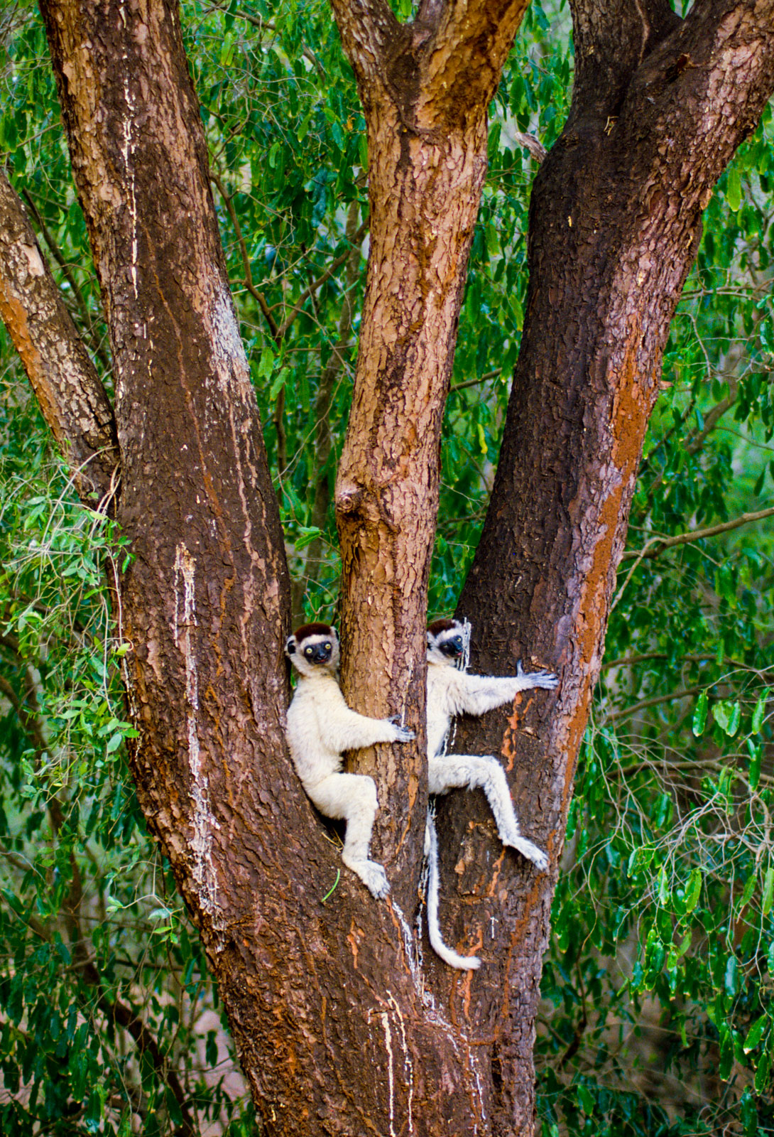 Verreaux's sifakas in trees, Berenty Reserve, Madagascar