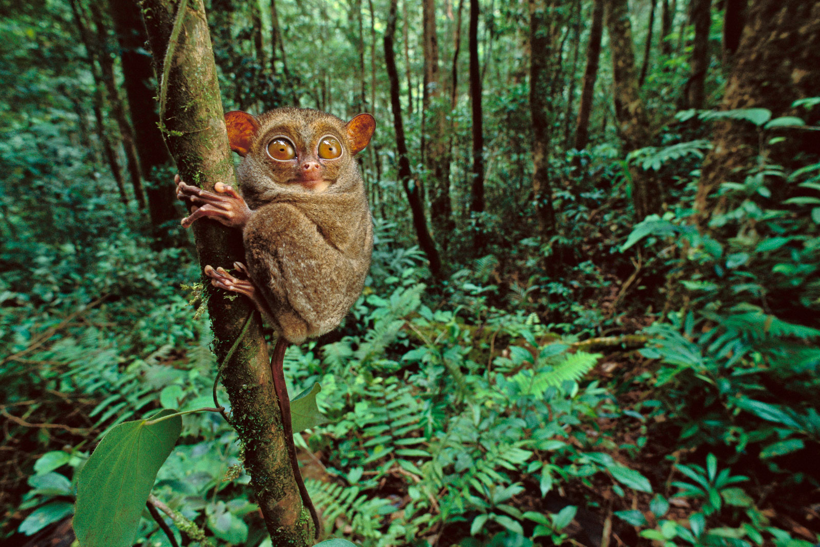 Western tarsier clinging to tree, Sabah, Borneo