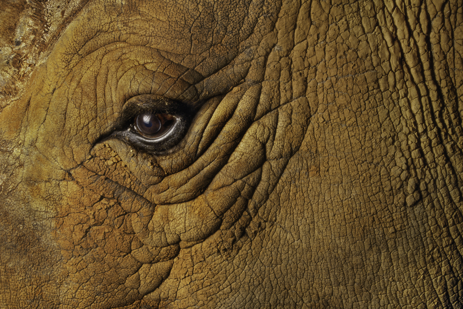 White rhinoceros eye, native to Southern Africa