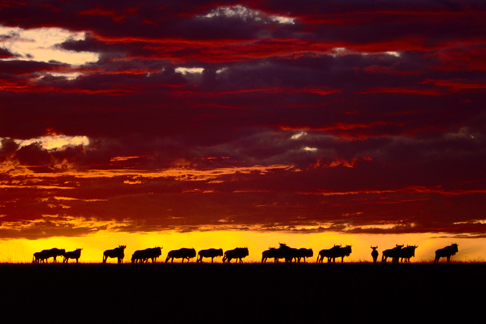 Wildebeests at dawn, Masai Mara Reserve, Kenya