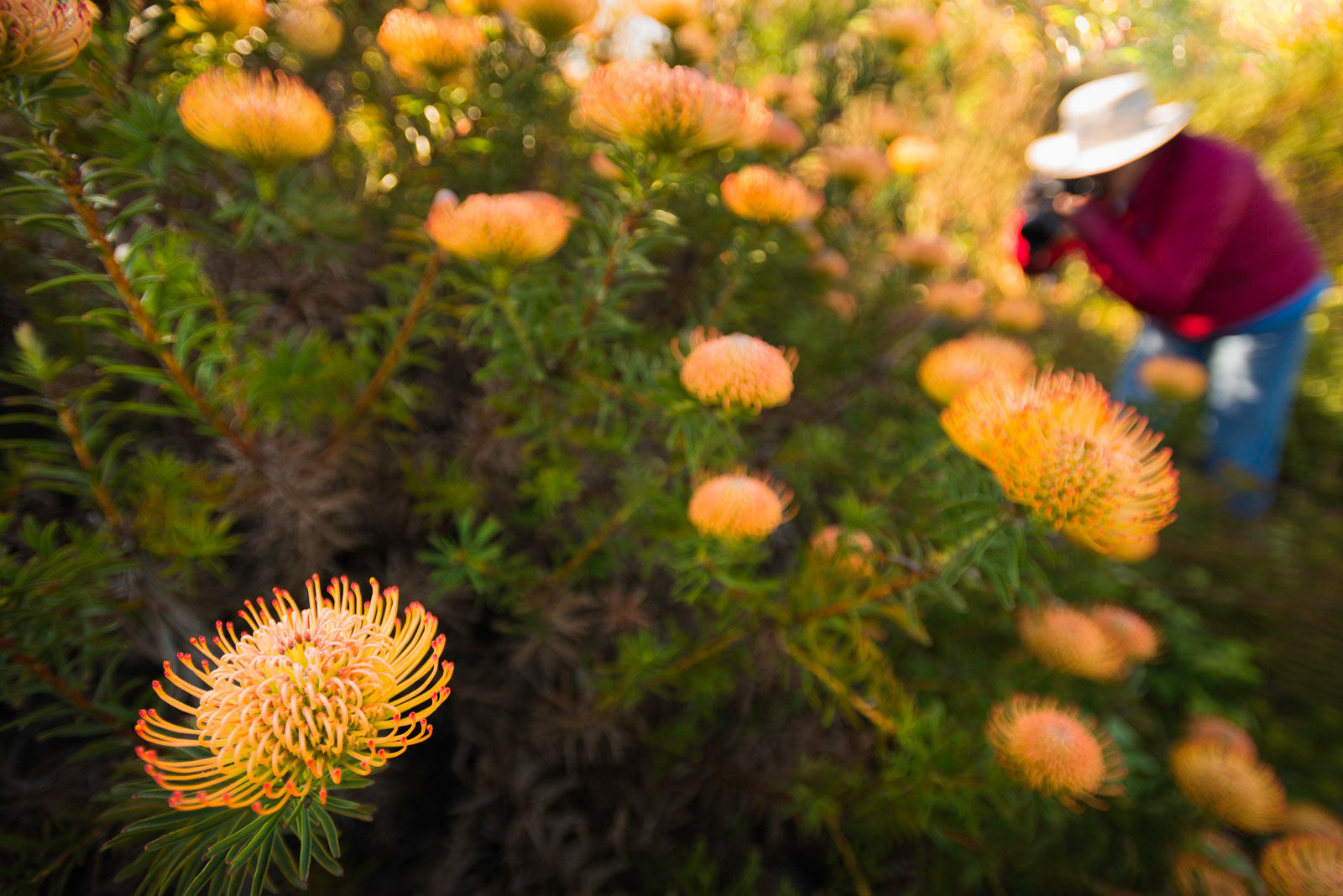 Photographer photographing red pincushion protea, UCSC Arboretum, Monterey Bay, California, USA