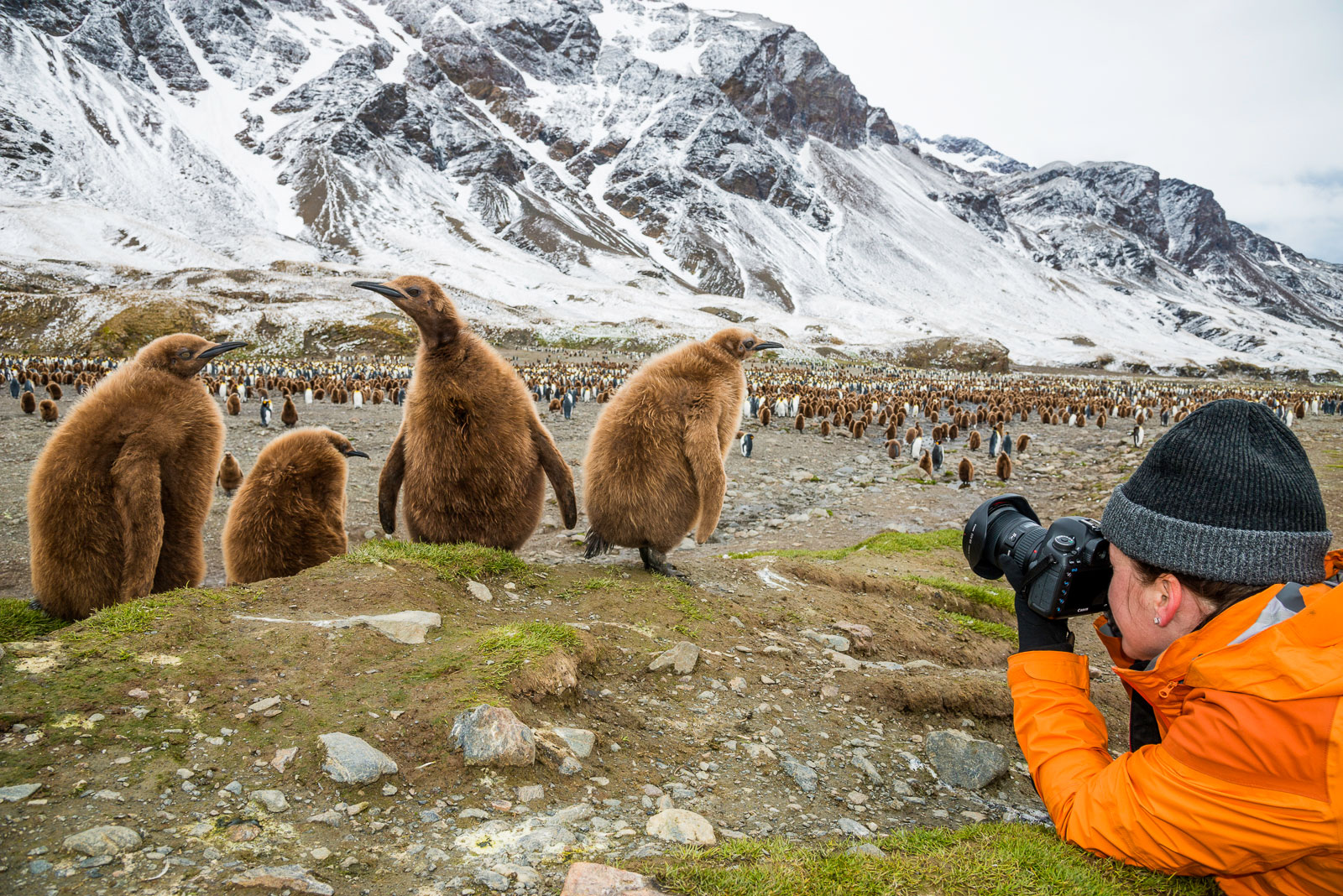 Tourist photographing King Penguin chicks, Fortuna Bay, South Georgia Island, Antarctica