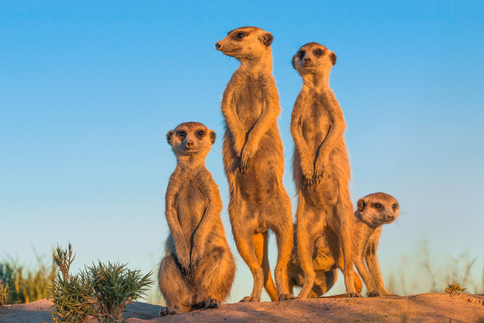 Meerkats in morning light, Makgadigadi Pan, Botswana