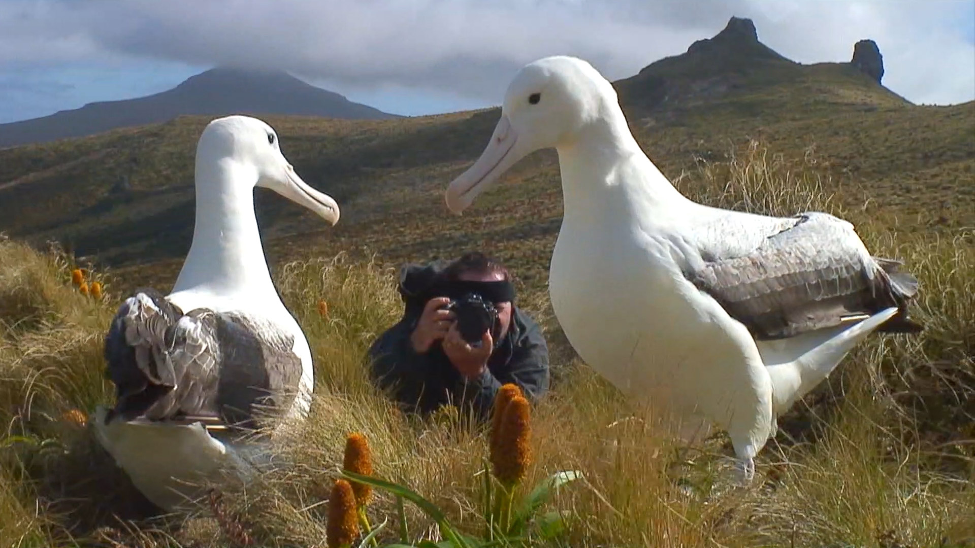 Frans Lanting documenting young Royal Albatross courtship, Campbell Island, New Zealand