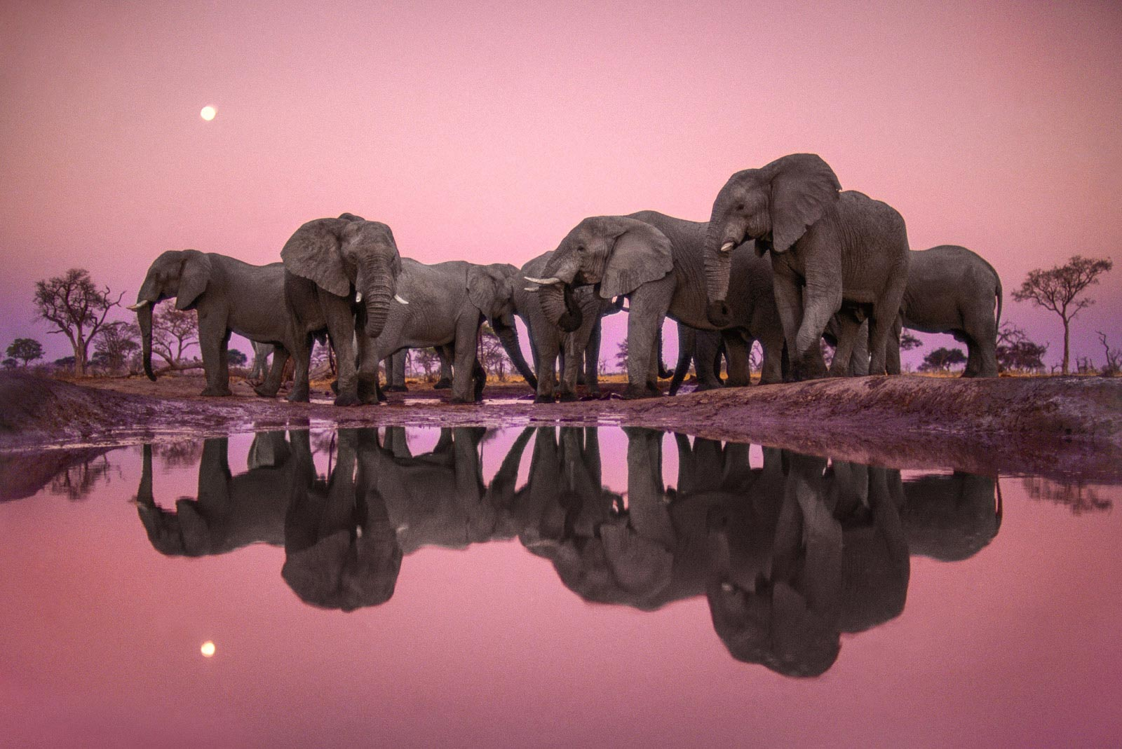 African elephants at twilight, Chobe National Park, Botswana